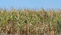 Iowa Corn Field in Aug Photo Joanna Schroeder