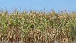 Iowa Corn Field in Aug Photo Joanna Schroeder