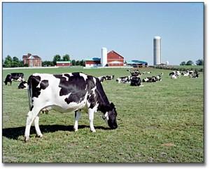 4462_cows_in_field_det_520