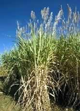 sugarcane_fields2_63919