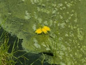 algae-biodiesel-2