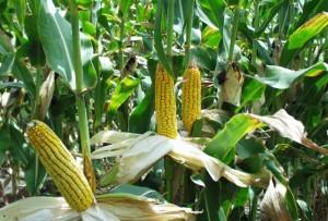 crops-corn-ethanol