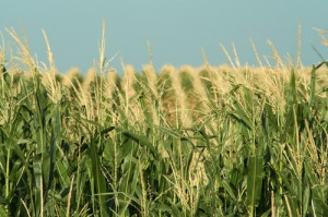 corn-field-schuyler-nebraska-neb168