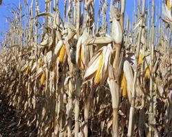 corn_stalk
