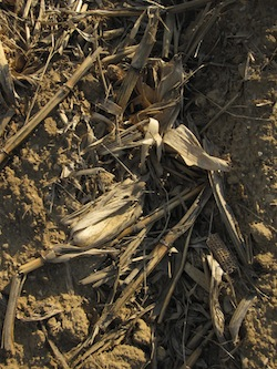 Corn Stover: Biomass Photo Joanna Schroeder