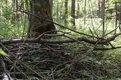 Forest Biomass Photo: MPR Photo/Than Tibbetts