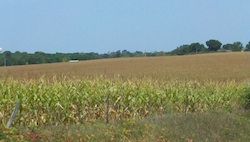 Iowa corn affected by 2012 drought Photo Joanna Schroeder