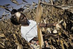 maize harvest Photo: FAO/Giulio Napolitano