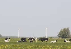 cows-and-wind