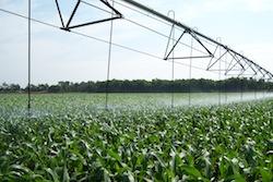 Irrigated corn