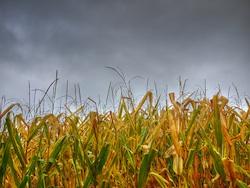 corn field in the rain Photo Chengyin Liu