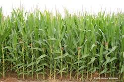 Fields of Corn Photo- Joanna Schroeder