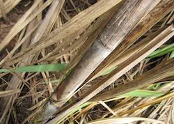 Sugarcane in Brazil