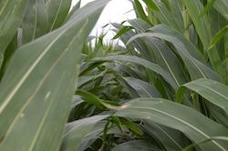 Corn crop August 2013