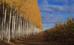 Poplar_GreenWoodResources_AutumnWeb