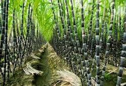 sugarcane field photo-dow