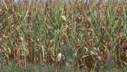 Corn Field photo credit Joanna Schroeder