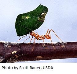 leaf-cutter ant1