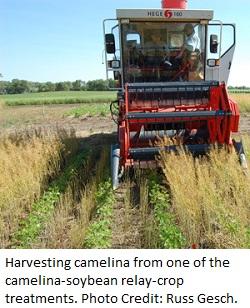 camelina harvest1