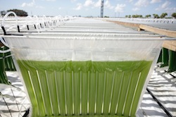 Algenol makes ethanol from algae