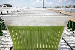 Algenol makes ethanol from algae