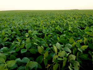 Soybean field in Iowa. Photo Credit: Joanna Schroeder