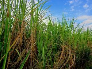 Sugarcane field in Brazil. Photo Credit: Joanna Schroeder