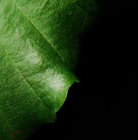 leaffeat