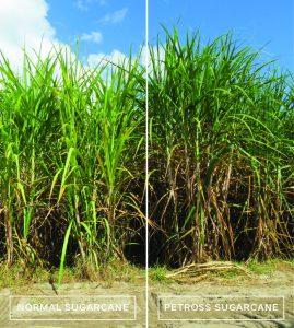 PETROSS_Sugarcane