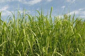 A University of Arkansas researcher is investigating a critical roadblock to harvesting biomass from perennial plants, such as grass, for the purpose of creating renewable energy. Photo Credit USDA.