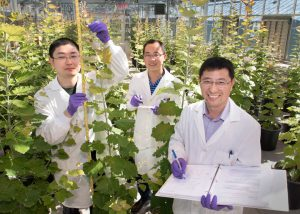 Postdoctoral associate Yuanheng Cai, biological research associate Xuebin Zhang, and plant biochemist Chang-Jun Liu in the Brookhaven Lab greenhouse with transgenic trees designed to improve biofuel production.