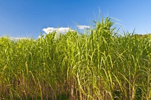 Switchgrass is one of the five crops modeled for local soil carbon sequestration rates in an Argonne study that predicts the impact of different biofuel crops on soil carbon across the country. (photo credit: hjochen/Shutterstock)