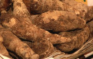 UF/IFAS researchers have found a sweet potato variety, CX1, that outperformed two table varieties in field tests. They think CX1 potatoes may serve well as feed for livestock and as biofuel.