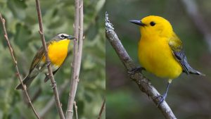 The yellow-breasted chat (left) and prothonotary warbler (right) thrive in different habitats. Meeting bioenergy goals means making trade-offs about which wildlife species -- like these -- will be most impacted. Photo credit: U.S. Fish & Wildlife Service.