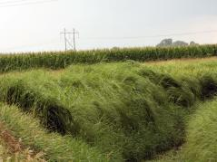 Prairie cordgrass. Photo Credit: University of Illinois.